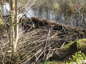 Knapdale beaver dam buttressing