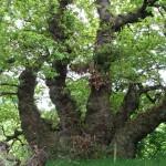 The Michael Tree, Dalkeith: Copyright C Mills