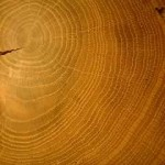 oak tree-ring disk