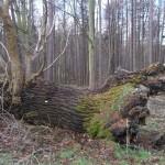 Dalkeith deadwood