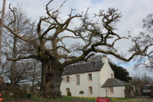 Balfron oak