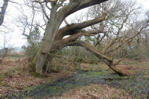 Caer west bank oak